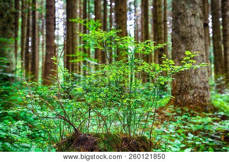 Young Bilberry Bush On A Stump Covered With Moss. Old Rotten Wooden Stump With Moss In The Forest. S