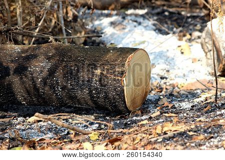 Global Warming, Deforest Cluster Of Freshly Cut Tree Stumps And Burn