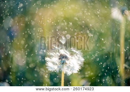 White Fluffy Dandelions, Natural Green Blurred Spring Background