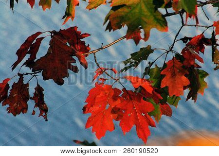 Close Up Of Brightly Colored Maple Leaves Hanging Over A Blue Lake In Upstate New York.