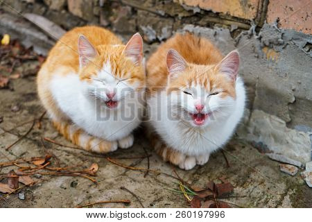 Two Little Homeless Red And White Kittens Meowing And Begging In The House