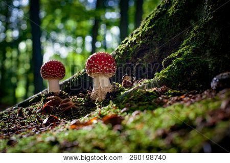 Dangerous Mushroom Between The Roots Of A Large Oak Tree With Moss, Beech Nuts And Green Moss. Fungu