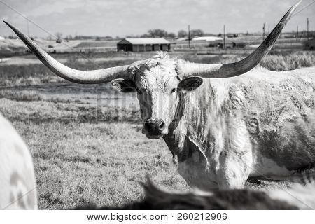 Wide Huge Horns On Texas Longhorn Cattle In A Black And White Finish On Texas Ranch
