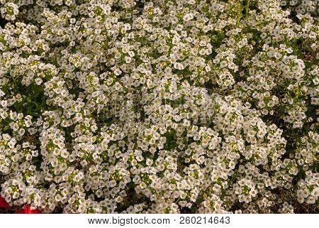 Flowers Lobularia Alyssum Maritime Maritimum, Sweet Borage Or Sweet Alison