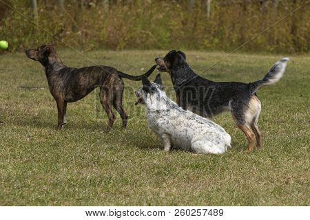 Three Alert Dogs Ready To Chase Green Tennis Ball