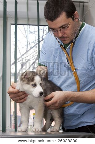 Husky puppy at a small animal clinic having his heart rate taken