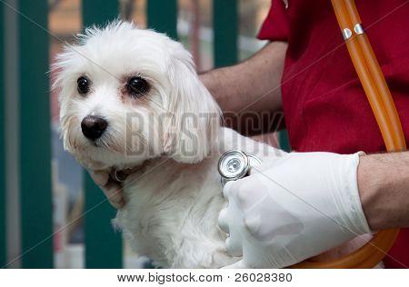 Vet examining a  cute bichon maltese dog poster