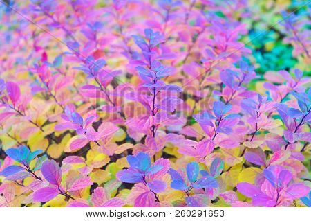 Red And Colorful Leaves Branch Close Up. Autumn Season. Colorful Autumn Leaves. Autumn Leaf Color Ph