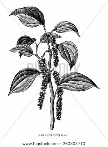 Black Pepper Branch Hand Draw Vintage Clip Art Isolated On White Background