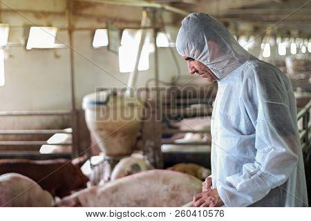 Pig Vet Checking Pigs For Diseases. Veterinarian Examining Pigs At A Pig Farm. Intensive Pig Farming