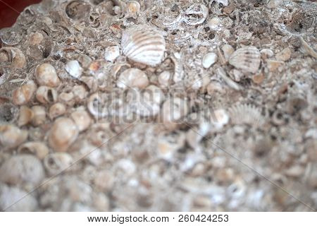 Old Shells Fossil In The Stone Background
