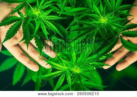 Cannabis Flowers. Growing Indoor Cultivation. Marihuana Plants Close Up. Planting Weed. Top View. Me