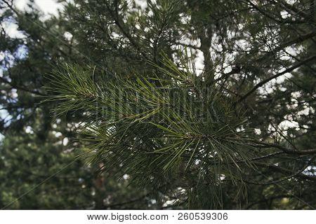 Pine Tree. Pine Branch. Pine Tree Background. Evergreen Tree.
