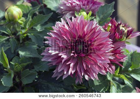 This Is An Image Of A Pink Dahlia