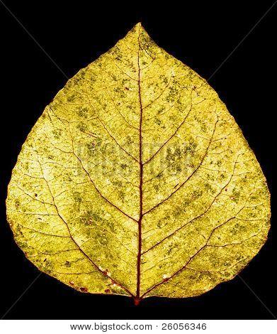 yellow gold aspen leaf