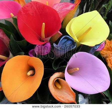 brightly colored lillys