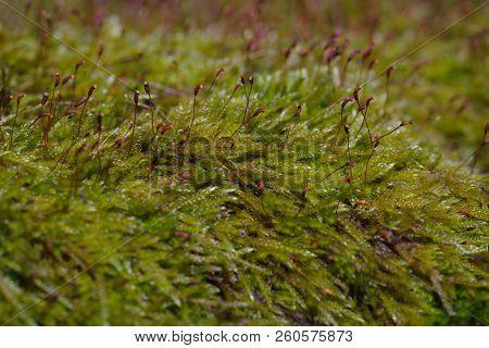 Green Moss In The Street, Macro Shot Of Green Moss.
