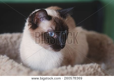 Young Female Chocolate Point Siamese Cat, Sitting In A Pet Bed