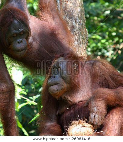 orangutang in the wild