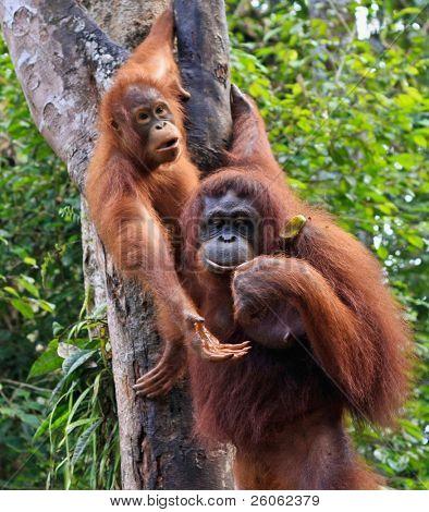 two  orangutan   in sarawak (borneo )