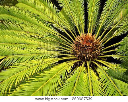 Closeup Of The Green Radiating Leaves On A Cycad (cyclas Revoluta) Plant