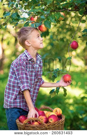 Boy With Apple In The Apple Orchard. Beautiful Girl Eating Organic Apple In The Orchard. Harvest Con