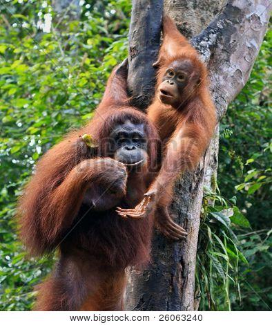 two orangutan in sarawak