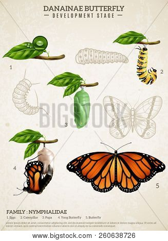 Entomology Realistic Poster Presenting Development Stages Of Danainae Butterfly Belonging To Nymphal