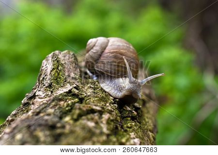 Close Up View Of Big Snail Crawling On The Trunk. Roman Snail - Helix Pomatia.