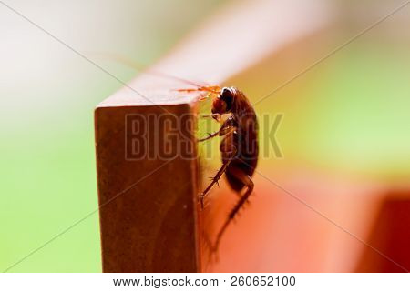 Cockroach On Wooden With White And Green Background.