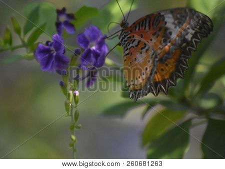 Very Pretty Painted Lady Butterfly On Lavender Flowers In A Garden.