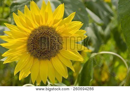 Colors Of The Summer-eautiful Sunflowers And The Bees