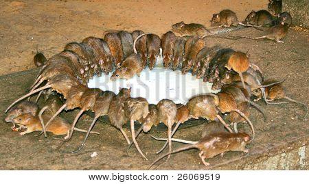 Sacred rats drinking milk