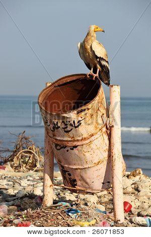 Egyptian vulture on rubbish-bin (beach of Soctra Island in Hadibo town)