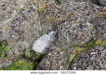 Eismöwe (Larus Hyperboreus) eingebettet, Russische Arktis, Franz-Josef-land