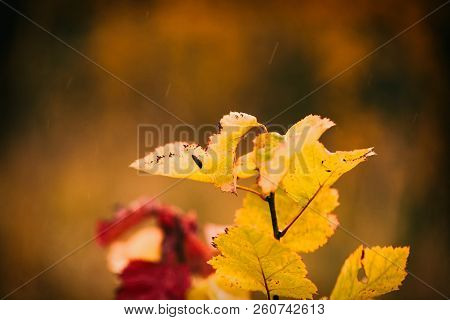 Photo Of Autumn Leaves On A Tree. Golden Autumn. Bright Red, Yellow, Orange Background