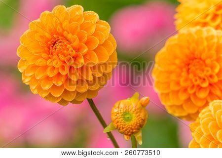 Close-up Of A Beautiful Orange Ball Dahlia Flower (asteraceae) In The Light Of The Morning Sun.  Vie