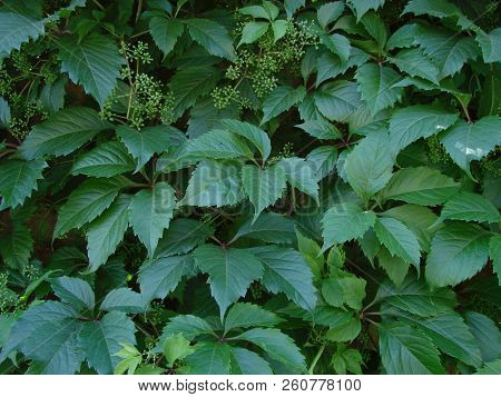 Ivy . Wall Covered With Foliage. Natural Green Background.