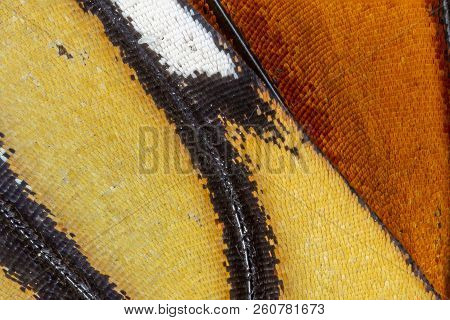 A Closeup Of The Wing Of A Monarch Butterfly (danaus Plexippus) Reveals The Intricsate Pattern Of Sc