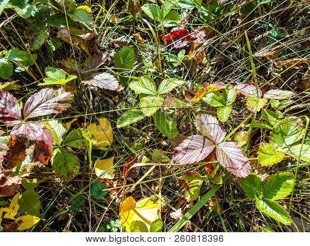 Wood Strawberry. Wild Strawberries In Forest. Wild Strawberry Leaves. Wild Strawberries In Autumn. W