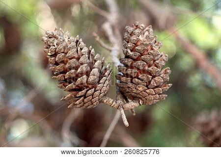 Two Large Dry Fully Open Brown Pine Cones Or Cones Or Conifer Cones On A Single Branch With Green Le