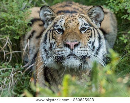 Tiger Portrait. Tiger In Wild Nature. Action Wildlife Scene, Danger Animal. Eautiful Siberian Tiger