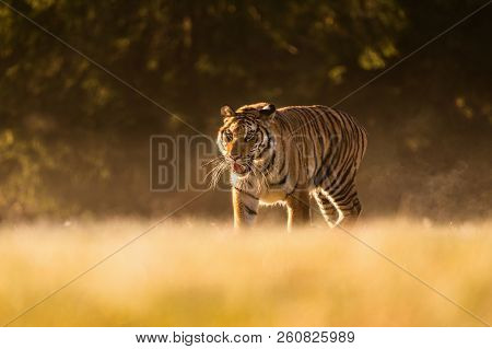Tiger Runs Behind The Prey. Hunt The Prey In Tajga In Hot Summer Day. Tiger In Wild Nature. Action W