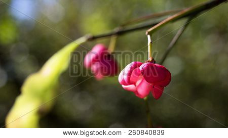 Euonymus Europaeus Contains The Poisonous Glycoside Evonymin, Which Is Mainly Found In Bark, Fruit A