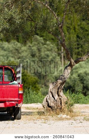 Red, Old Pick-up Truck Vehicle And A Solitare Olive Tree Stands Alone In Greece