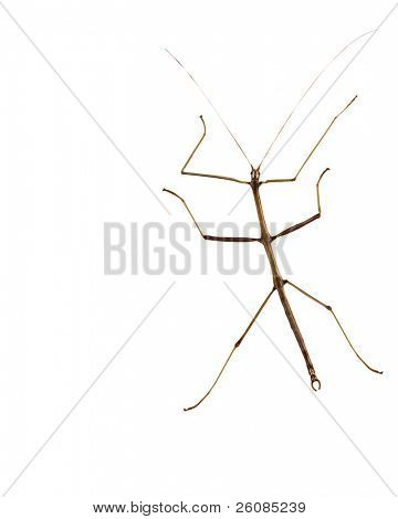 stick bug, insect, Phasmatodea - Oreophoetes peruana isolated on white backgroung
