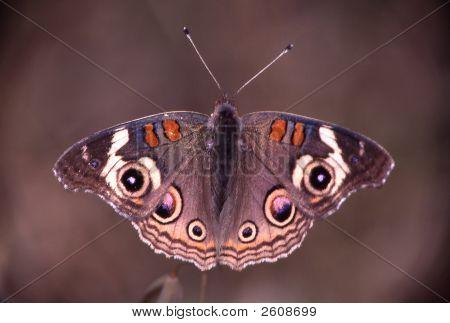 Buckeye_Butterfly