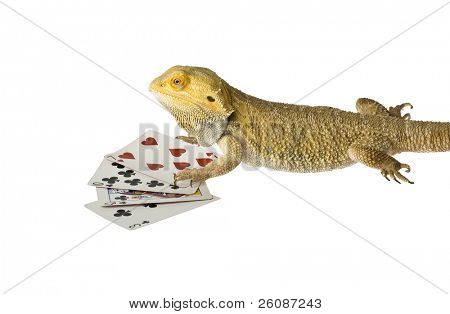 bearded dragon poker face bad hand isolated on white background poster