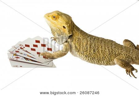 bearded dragon poker face isolated on white background