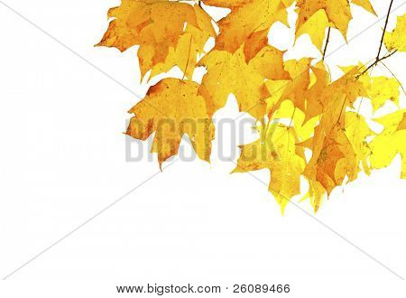 Fall leaves isolated and backlit with room for text